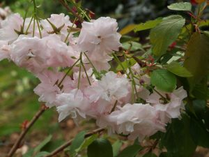Prunus 'Matsumae-hanagasa' (syn 'Pink Parasol')