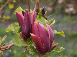 Magnolia x brooklynensis 'Black Beauty'