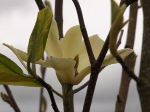 Magnolia 'Gold Finch'