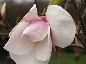 Magnolia 'Paul Cook'