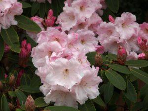 Rhododendron loderi