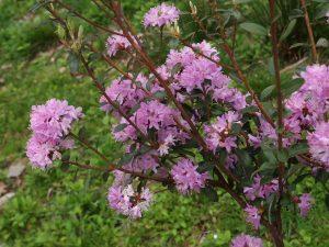Rhododendron racemosum