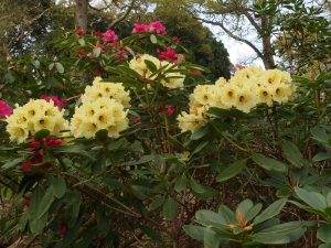Rhododendron 'Bergs Yellow'