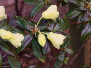 Rhododendron litiense