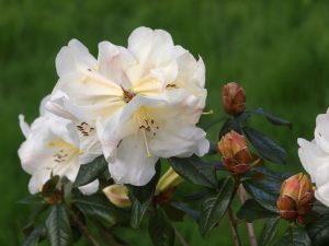 Rhododendron 'Martha Wright'
