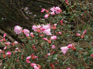 Rhododendron williamsianum x Rhododendron martinianum