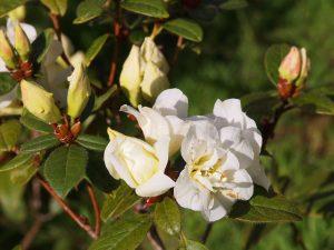 Rhododendron johnstoneanum 'Double Diamond'