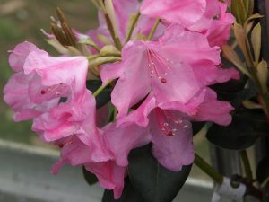 Rhododendron irmelies