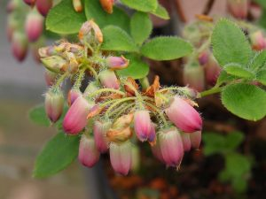 Menziesia ciliicalyx 'Plum Drops'