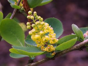 Berberis latifolia