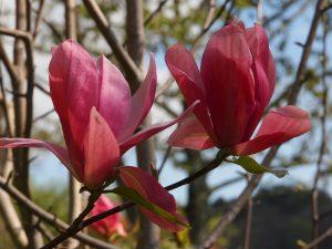 Magnolia 'Daybreak'