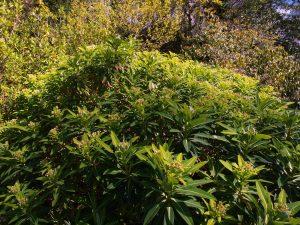 Euphorbia x pasturei