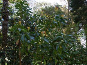 Gordonia seczwanica