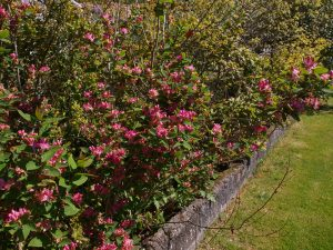 Lonicera tatarica 'Hacks Red' or 'Arnold Red'