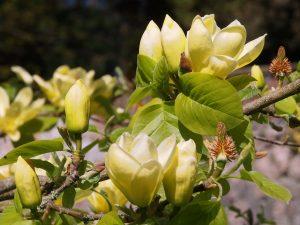 Magnolia 'Lois'