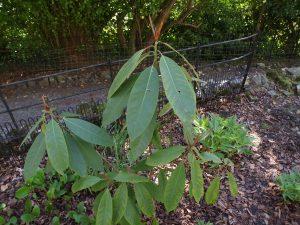 Magnolia sapiensis