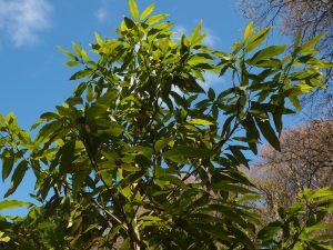 Persea japonica