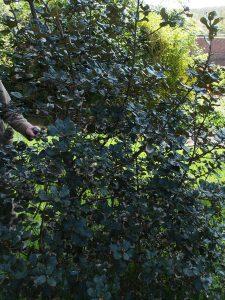 Quercus panosa