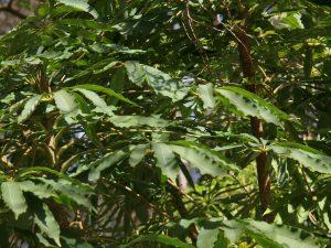 Schefflera taiwanensis
