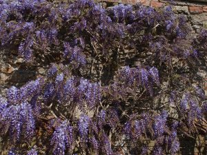 Old wisteria at Penrice Castle