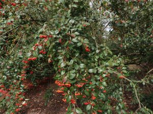 unknown cotoneaster