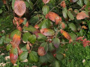 Quercus cadicans