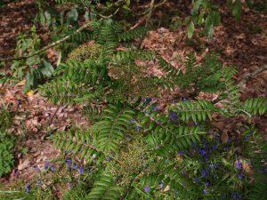 Sorbus scalaris