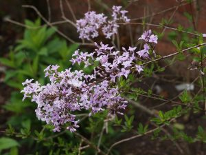 unidentified syringa species.