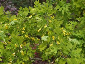 Caragana arborescens 'Walker'