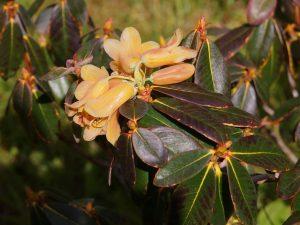 Rhododendron 'Cinnabarinum Group'