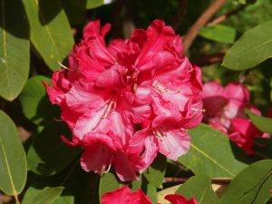 Rhododendron 'Lady Montagu Group'