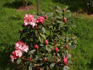 Rhododendron 'Lems Cameo'
