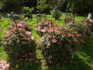 Rhododendron 'Moonstone'