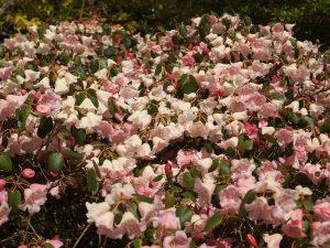 Rhododendron williamsianum x campylogynum