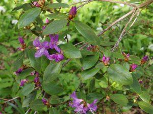 Rhododendron concinnum var pseudoyanthinum Group