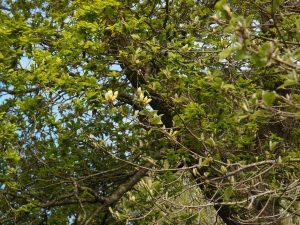 Magnolia acuminata var subcordata 'Miss Honeybee'