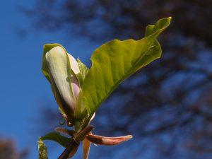 Magnolia 'Woodsman' x 'Patriot'