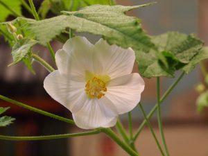 white form of Abutilon x suntense