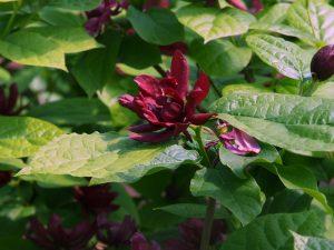 Calycanthus raulstonii 'Hartlage Wine'
