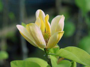 Magnolia acuminata var subcordata