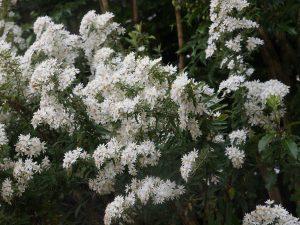 Olearia scillionensis