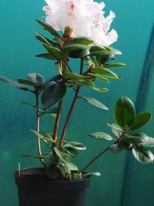Rhododendron 'Gartendirektor Rieger'