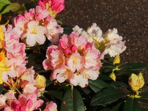 Rhododendron 'Surrey Heath'