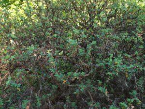 Polylepsis australis
