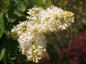 Syringa vulgaris 'Primrose'