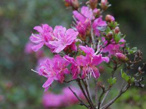 Rhododendron kiuisianum