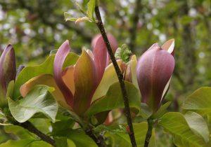 Magnolia x brooklynensis 'Woodsman'