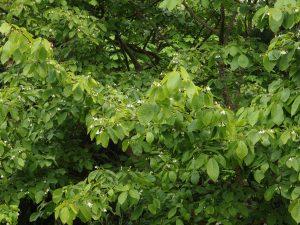 Styrax odoratissimus