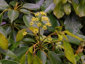Taiwanese form of Trochodendron aralioides