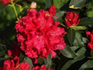 Rhododendron 'Jean Marie de Montague'